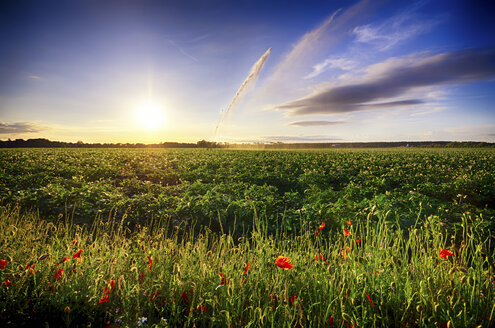 Scotland, East Lothian, water cannon, potatoes and poppies - SMAF000246