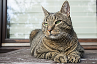 Portrait of European Shorthair relaxing on balcony table - CSTF000400