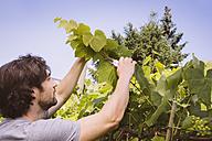 Germany, Northrhine Westphalia, Bornheim, Man in vinyard - MFF001173