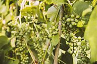 Germany, Northrhine Westphalia, Bornheim, Close up of grape vines - MFF001191