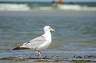 Germany, Lower Saxony, East Frisian Island, Juist, seagull - ODF000795