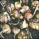 Onions - SHIF000072
