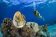 Oceania, Palau, Diver watching Palau nautilus, Nautilus belauensis, in Pacific Ocean - JWAF000200