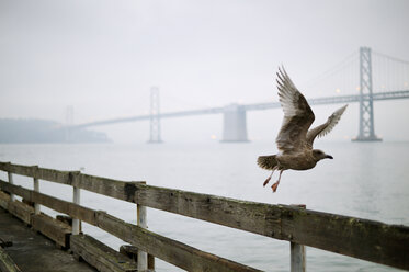 USA, California, San Francisco, seagull in front of Oakland Bay Bridge - BRF000721
