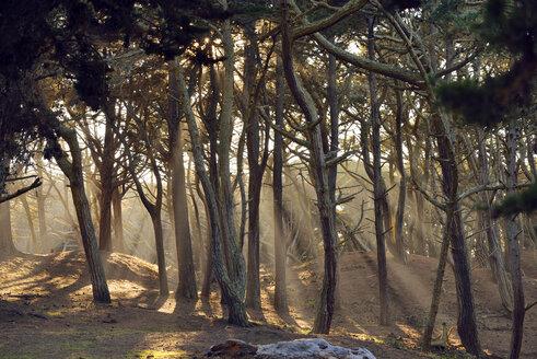 USA, California, San Francisco, sunbeams falling through trees near Baker Beach - BRF000764
