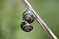 Two snails, Gastropoda, hanging on a stem - MJOF000702