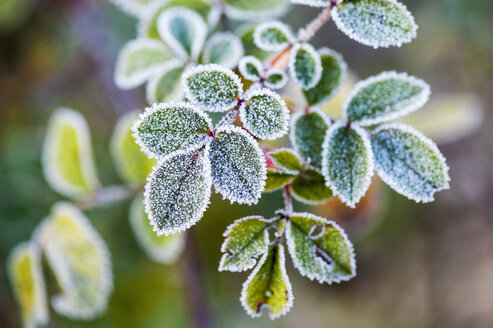 Morning frost on rosehip leaves - HHF004883