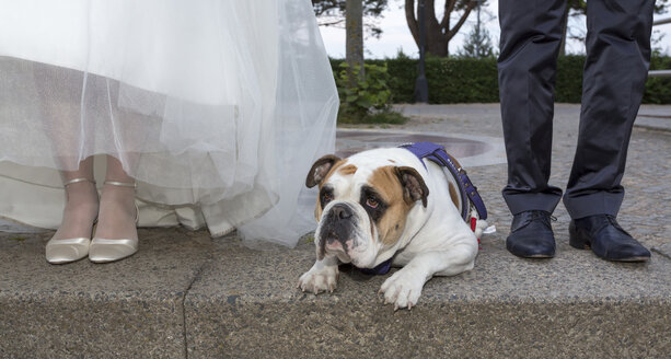 English Bulldog lying between bridal couple on sidewalk - MABF000238