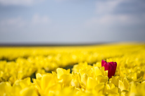 Germany, yellow tulip field with single red tulip - ASCF000100