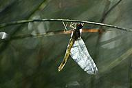 Black darter, Sympetrum danae, hanging at blade - MJOF000731