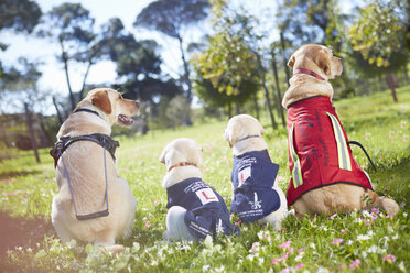 Three guide dogs at dog training - ZEF001003