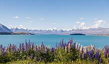 New Zealand, South Island, Lake Tekapo, Russell lupin, Lupinus polyphyllus - WVF000648