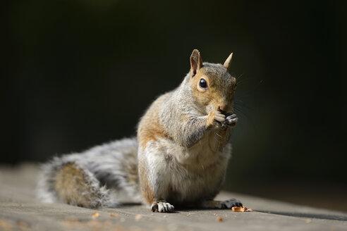 Portrait of eating Grey squirrel, Sciurus carolinensis - MJOF000753