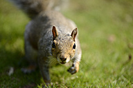 Portrait of curious Grey squirrel, Sciurus carolinensis - MJOF000755