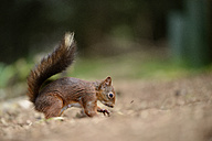 Eurasian red squirrel, Sciurus vulgaris - MJOF000763