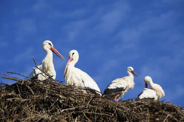 Germany, stork's nest with white storks, Ciconia ciconia - JTF000577