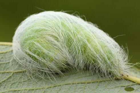Caterpillar of the Miller, Acronicta leporina, on a leaf - MJOF000776