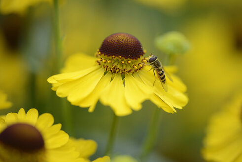 Blossom of sneezeweed, Helenium, with insect - MJOF000774