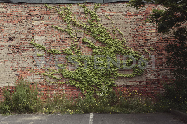 Creeping plant growing on an old brick wall - DWF000174