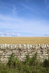 United Kingdom, Scotland, stone wall and oat field - ELF001351