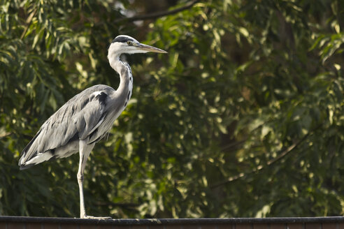 Grey Heron, Ardea cinerea, standing on a roof in front of a tree - MELF000020