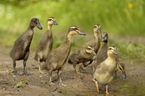Germany, Schleswig-Holstein, eight young mallards, Anas platyrhynchos, walking at waterside - HACF000175