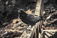 Spain, Canary Islands, La Palma, Raven, Corvus Corax, perching on wooden fence - DWI000226
