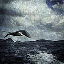 Portugal, Porto Santo, seagull flying - DWI000229