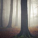 Germany, near Wuppertal, foggy beech forest - DWI000232