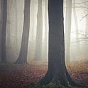 Germany, near Wuppertal, foggy beech forest - DWI000232
