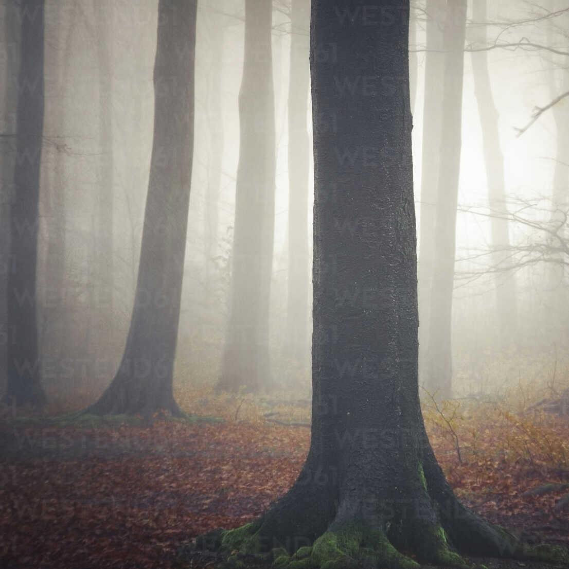 Germany, near Wuppertal, foggy beech forest - DWI000232 - Dirk Wüstenhagen/Westend61