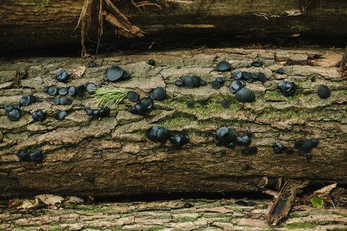 Germany, Hesse, Black Bulgar, Bulgaria inquinans, on bark - DWF000195