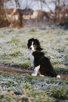 Germany, Baden-Wuerttemberg, Mannheim, Border Collie, puppy - DWF000197