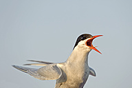 Germany, Schleswig-Holstein, flying and screaming tern, Sternidae - HACF000183