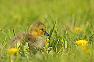 Germany, Schleswig-Holstein, baby canada goose, Branta canadensis, sitting on a meadow - HACF000193
