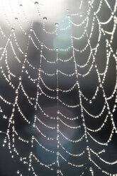 Part of cobweb with morning dew in back light - SARF000874
