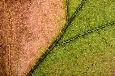 Part of maple leaf - MJOF000797