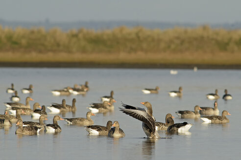 Germany, Schleswig-Holstein, flock of grey gooses, Anser Anser, on water - HACF000205