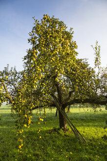 Germany, Baden-Wuerttemberg, near Tuebingen, apple tree - LVF001962