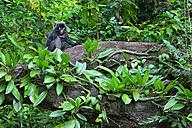 Malaysia, Perhentian Island, dusky leaf monkey - DSGF000313