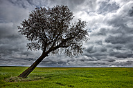 Spain, Province of Zamora, warped tree under cloudy sky - DSGF000809