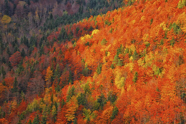 Spain, Ordesa National Park, coniferous forest in autumn - DSGF000422