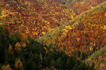 Spain, Ordesa National Park, coniferous forest in autumn - DSGF000477