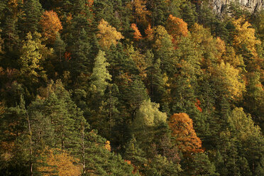 Spain, Ordesa National Park, coniferous forest in autumn - DSGF000542
