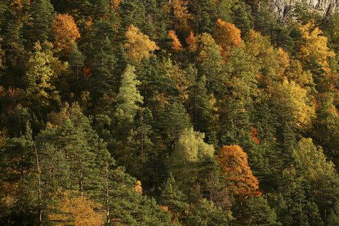 Spain, Ordesa National Park, coniferous forest in autumn - DSGF000542