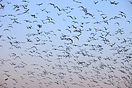 Spain, Flock of birds against clear sky - DSGF000543