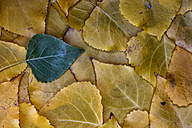Polar leaves in autumn - DSGF000548