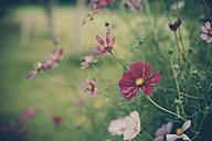 Germany, Saxony, Moritzburg, flowers - MJF001361