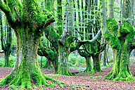 Spain, Gorbea Natural Park, Beech forest - DSGF000593