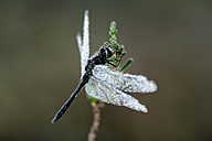 Black darter, Sympetrum danae, hanging on a sproot - MJO000802